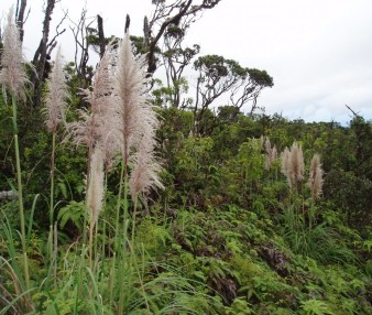 Far from the landscaped yards, pampas grass flourishes in the East Maui rainforest, benefiting from the disturbance created by another invader, pigs. Photo by Maui Invasive Species Committee