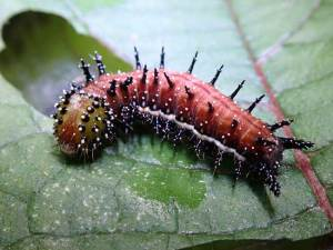 Caterpillars of the Kamehameha butterfly can be several different colors, from green to brown, but always covered in spines and bumps. Photo by Will Haines.