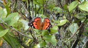 Kam-butterfly-Waihee-ridge-starr-020925-0126-Forest-and-Kim-Starr--web-1140-px
