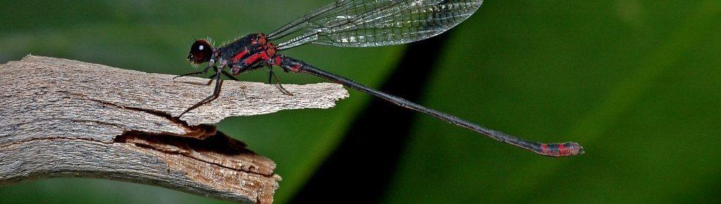 The native dragonflies and damselflies of Hawaiʻi