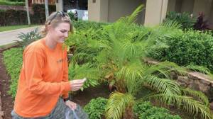 MISC employee Molly Wirth surveys for LFA in response to a Maui residents concern about little fire ant moving in hapuu. No LFA were found. MISC file photo