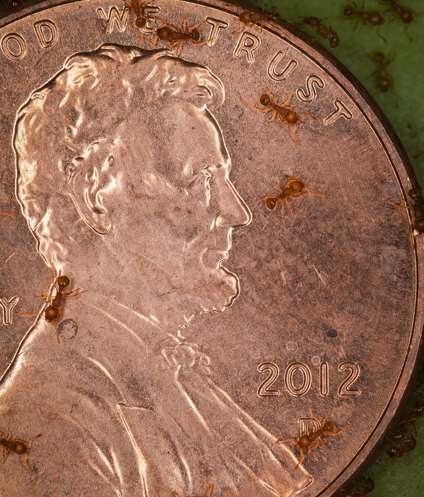 Little fire ants, Wasmannia auropunctata, on a penny. Photo by Zach Pezzillo