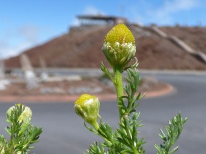 Pineapple chamomile, a native to the Northwestern US and other places, may have been carried to Haleakala summit via a seed on a boot. Photo courtesy of Forest and Kim Starr