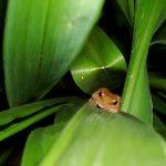 A coqui frog hiding on a landscape plant