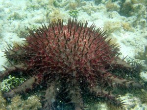 The crown-of-thorns starfish does munch on coral, but new research is showing that this species, native to Hawai'i, benefits the reef. Photo courtesy of the National Oceanic and Atmospheric Administration