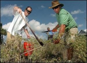 Pōhinahina is another Hawaii coastal native that's proven invasive elsewhere. Crews on the coast of North Carolina remove this dune-destroying shrub. Photo courtesy of beachvitex.org