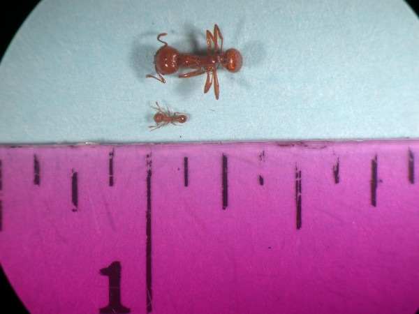 Don't confuse the little fire ant with the much larger and widespread tropical fire ant