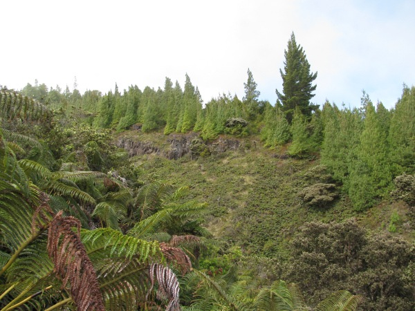 Mexican weeping pine (Pinus patula) creeps into the native forest of the Waikamoi preserve. Forrest and Kim Starr photo
