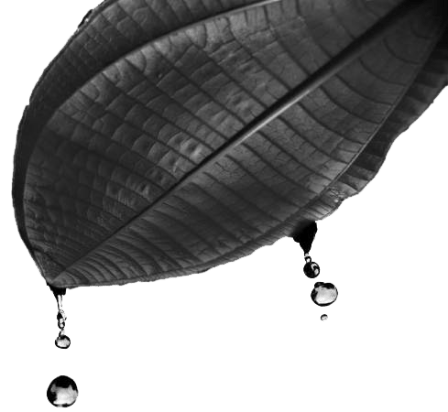 Artistic representation of water running off a miconia leaf.