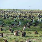 If efforts to restore seabird colonies on the main Hawaiian Islands are successful, this may be a site any resident or visitor to Hawaii can see. For now, you have to visit Midway to see Laysan albatross this dense. Photo by Forest and Kim Starr.