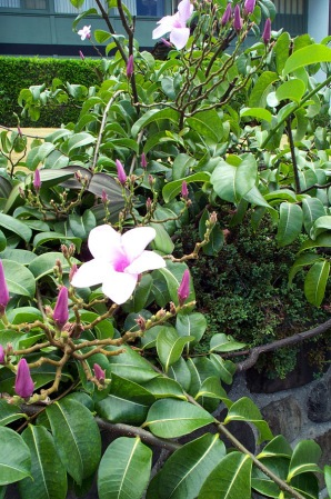 Rubber vine flower and plant