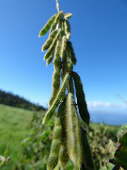 Glycine seeds remain viable for years in the soil. Photo by Forest and Kim Starr.