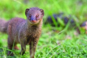 The mongoose is an opportunistic predator