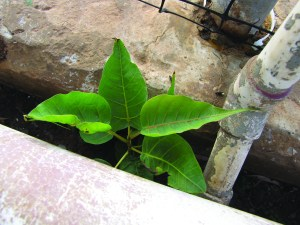 Bo tree seedlings springing up out of a sidewalk crack on Molokai
