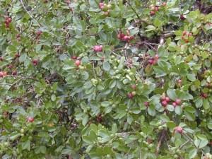 Strawberry guava fruit