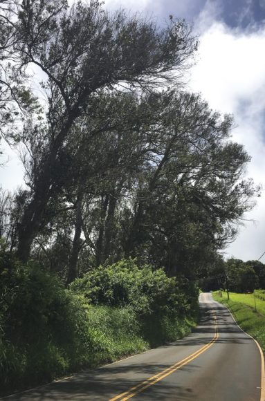 A blessing in disguise: the bluegum eucalyptus that line Piiholo Road are nearly dead after pest insects have spent over a decade munching their leaves. These eucalyptus are invasive, but their devastation will likely mean power outages and detours. MISC file photo