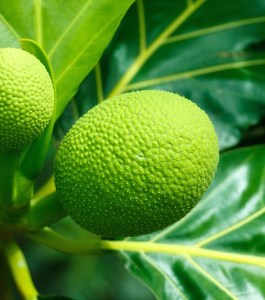 breadfruit food nutrition Maui