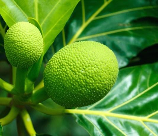 breadfruit food nutrition Maui