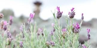 Kula lavender holistic herbs
