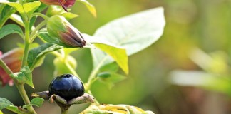 Benefits of belladonna
