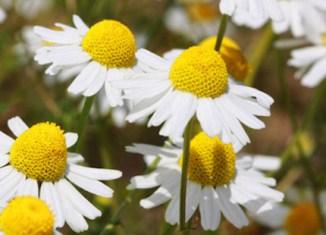 Chamomilla homeopathy