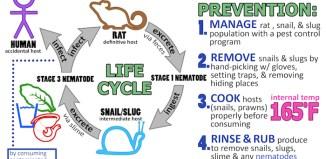 Maui Rat ungwaorm disease