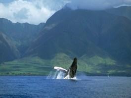 Humpback whales Maui