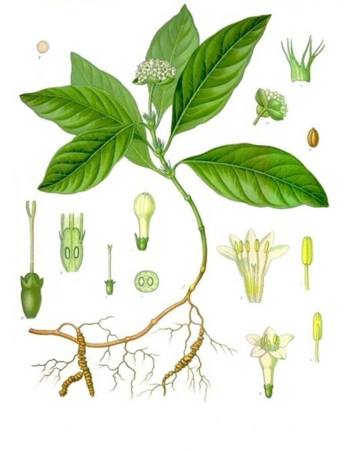 Ipecacuanha homeopathic