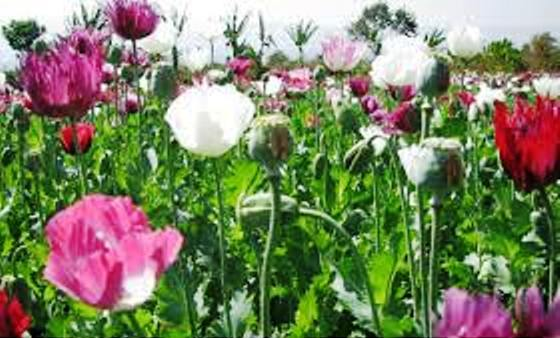 Opium poppies  for heroin manufacture