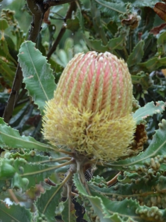Late-flowering Banksia