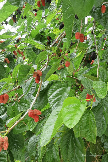 Mulberries ripening on tree
