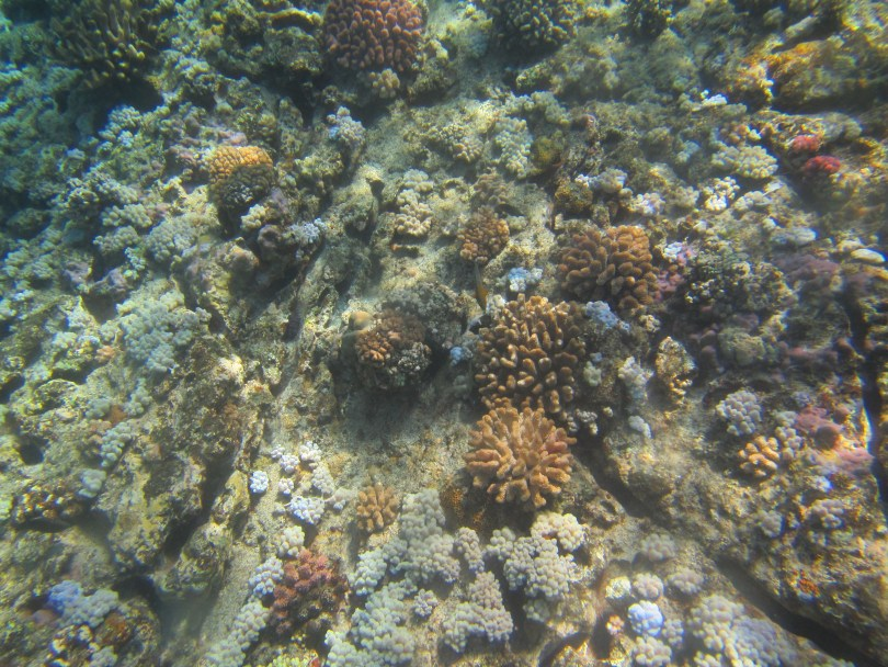 Soft, foliose, sub massive & pinky corals seen at Coin de Mire during snorkeling