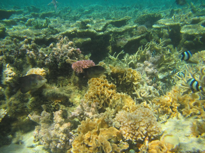 Table coral with fishes as seen during snorkeling at Blue Bay Marine Park