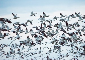 Lesser snow geese fly through the Yolo Bypass Wildlife Area on December 16, 2014.