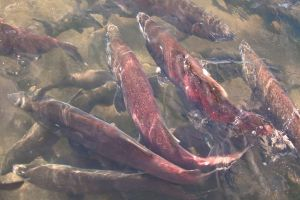 Chinook salmon Battle Creek #1