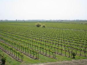 Delta vineyard #3 07-2008