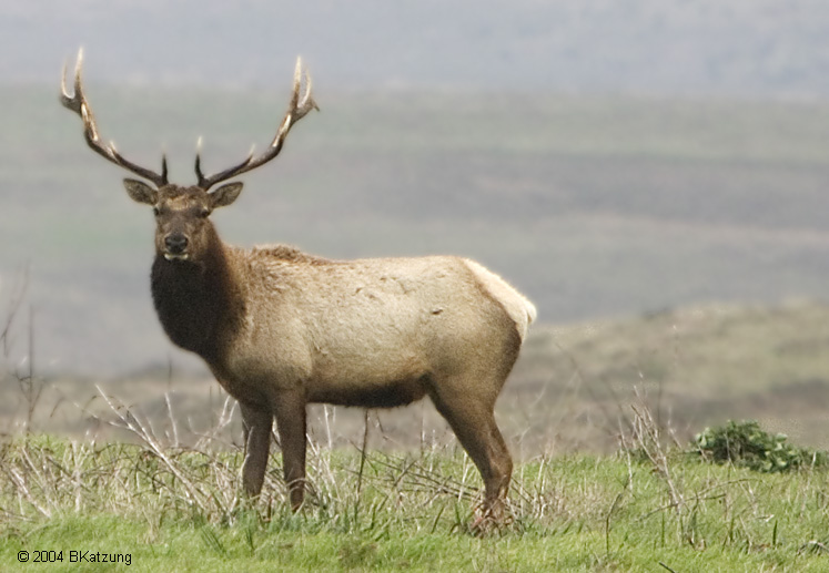 elk-06