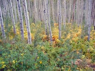 aspen-forest2