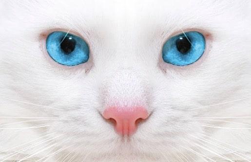 uveite anterieure chez le chat l