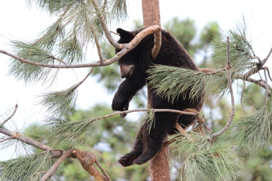 Bear Needing Help