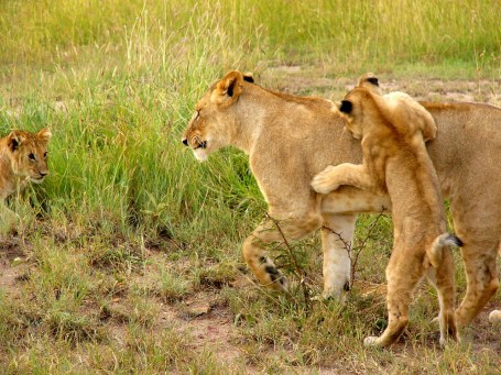 Lioness protecting and providing