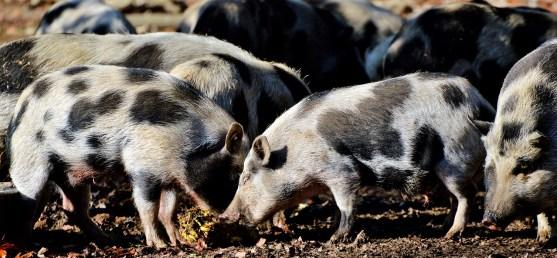 Living among pigs!