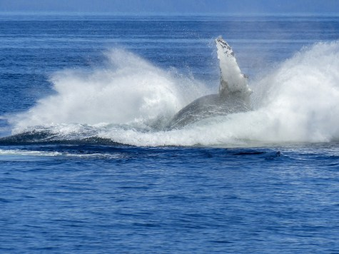Make a splash! Humpback whale