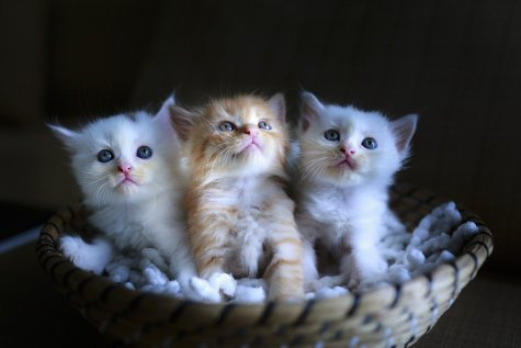 Three baby kittens
