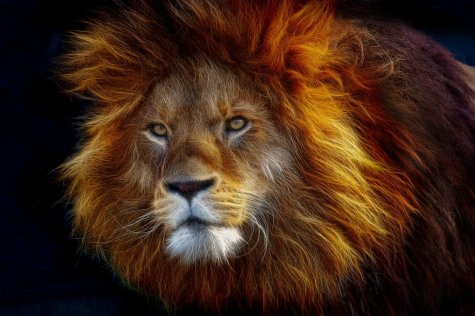Pixabay - OCC Public Domain - Fractalius Big Cat Animal Animal World Lion Mane