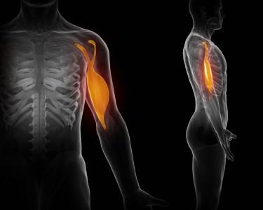 上腕二頭筋 人体構造図
