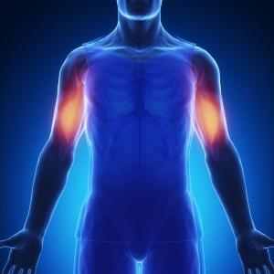 上腕筋 人体構造