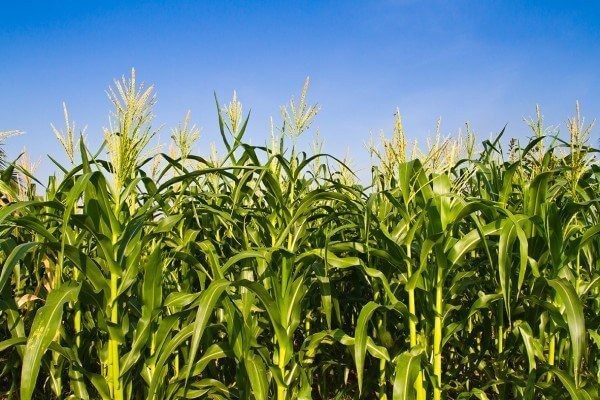 Waxy Maize can help you improve your overall fitness.