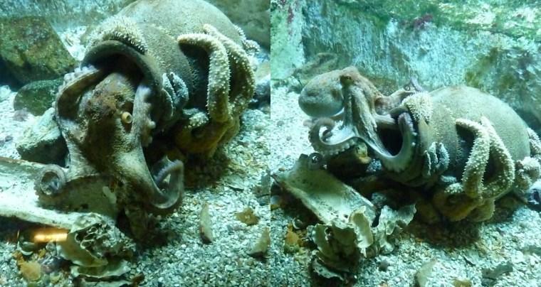 pieuvre2