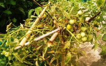 One tomato plant growing in a 50% vermicompost and 50% garden soil.